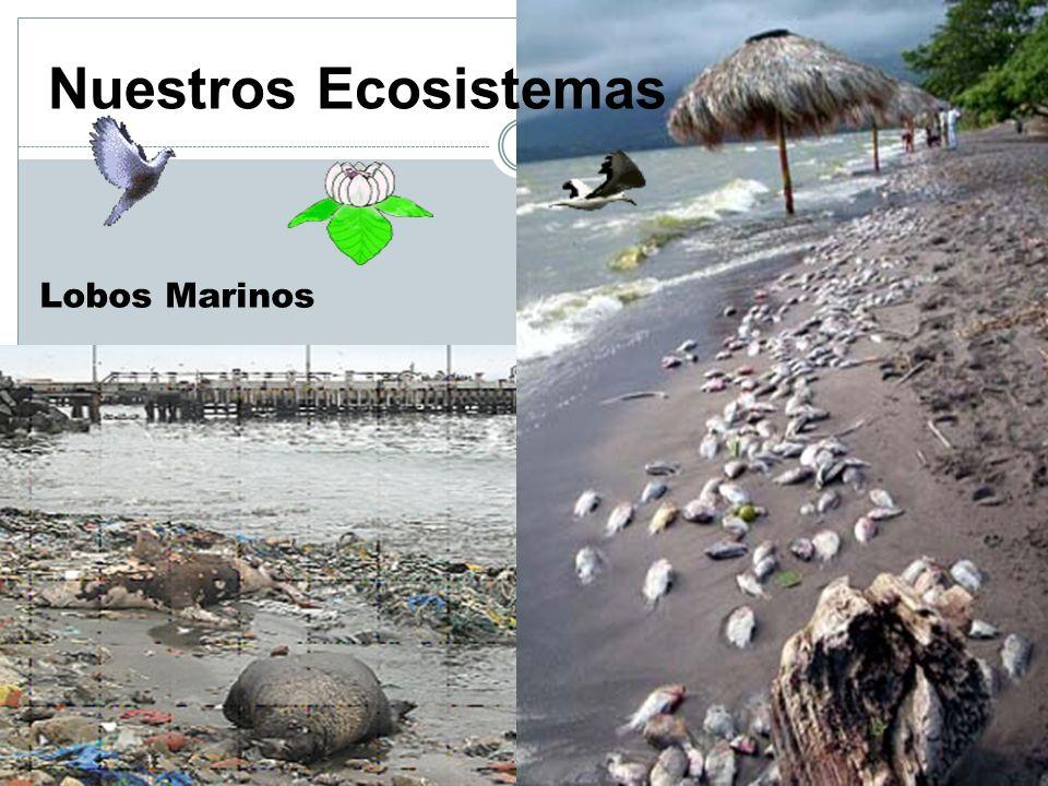 Nuestros Ecosistemas Lobos Marinos