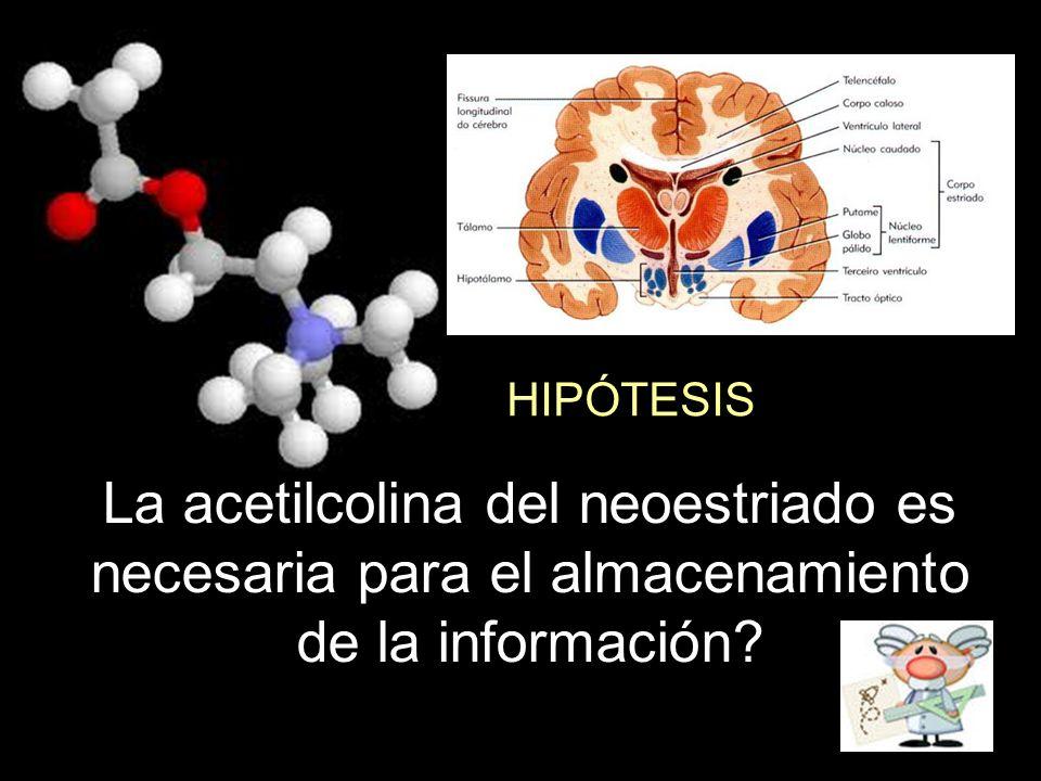 HIPÓTESIS La acetilcolina del neoestriado es necesaria para el almacenamiento de la información