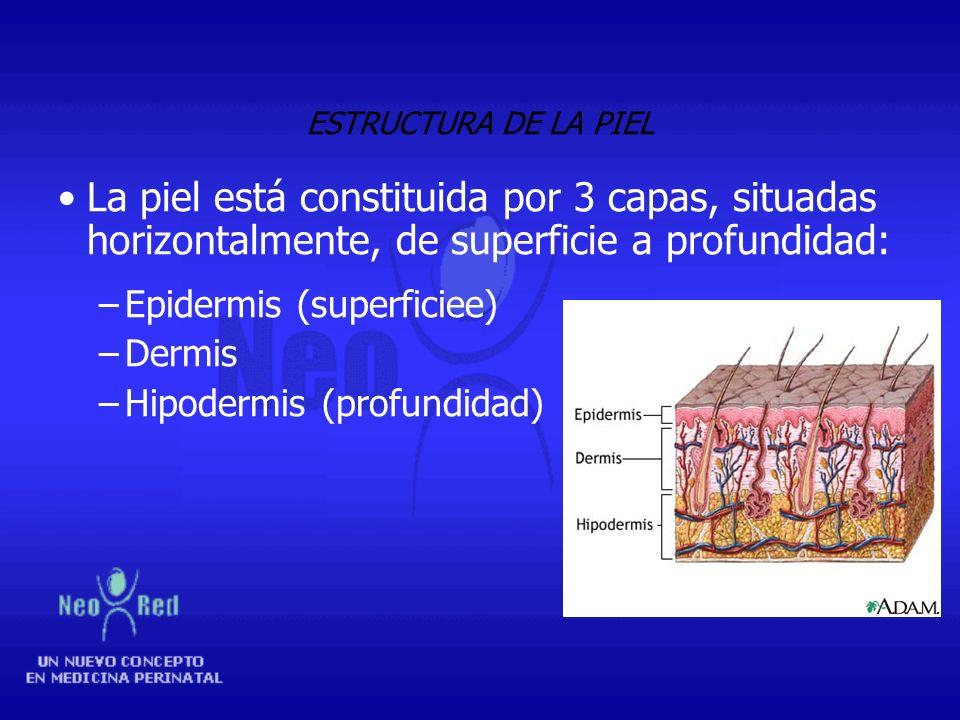 ESTRUCTURA DE LA PIEL La piel está constituida por 3 capas, situadas horizontalmente, de superficie a profundidad: