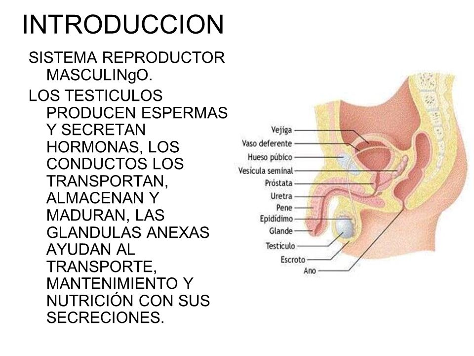 INTRODUCCION SISTEMA REPRODUCTOR MASCULINgO.