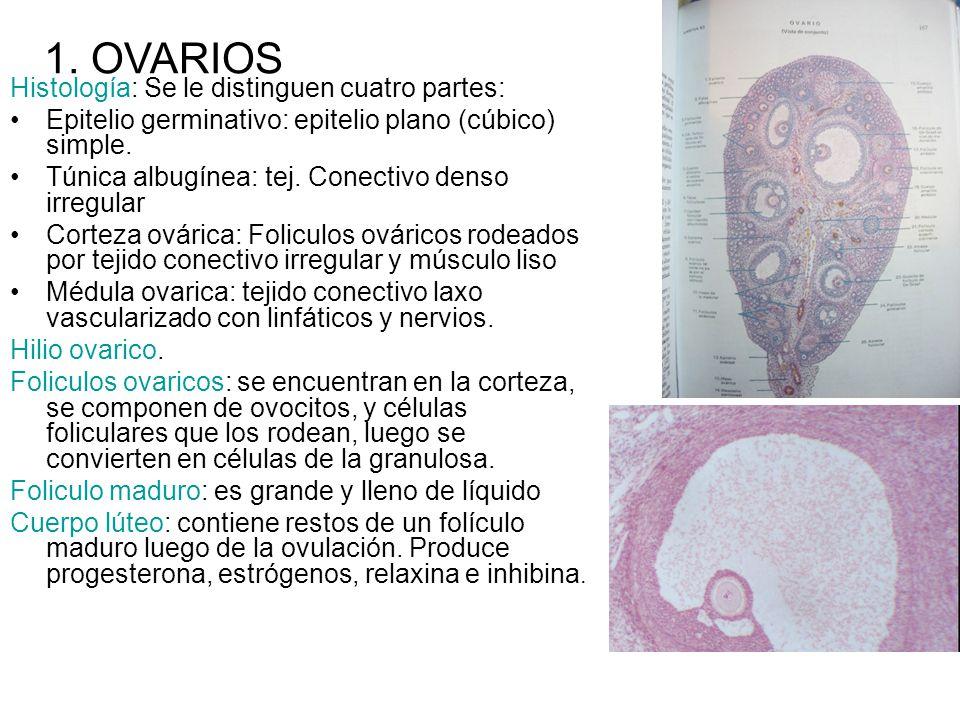 1. OVARIOS Histología: Se le distinguen cuatro partes: