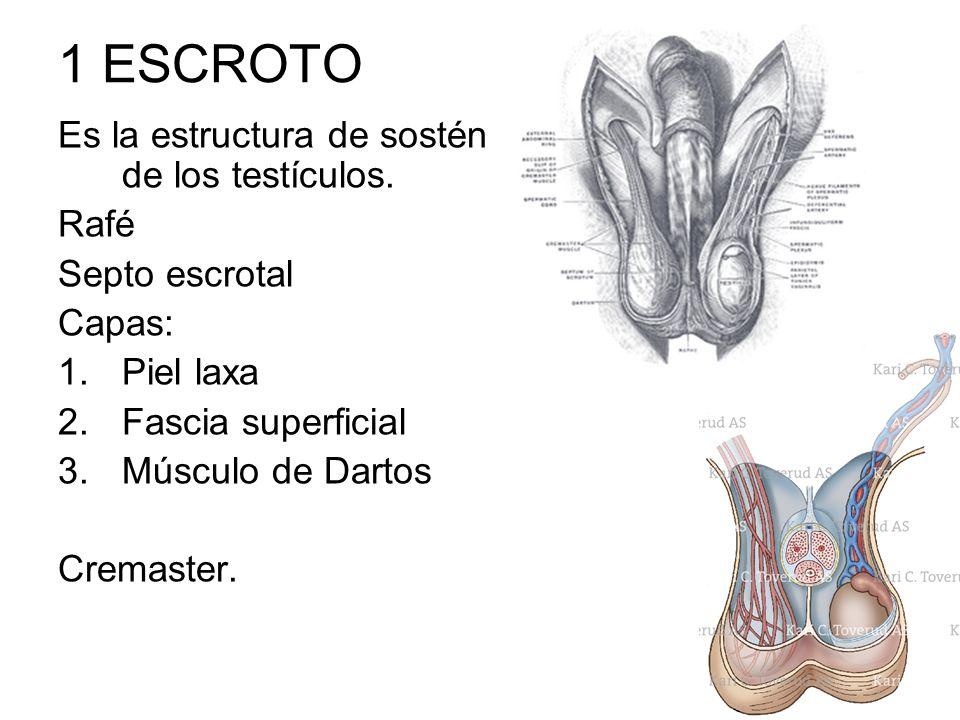 1 ESCROTO Es la estructura de sostén de los testículos. Rafé
