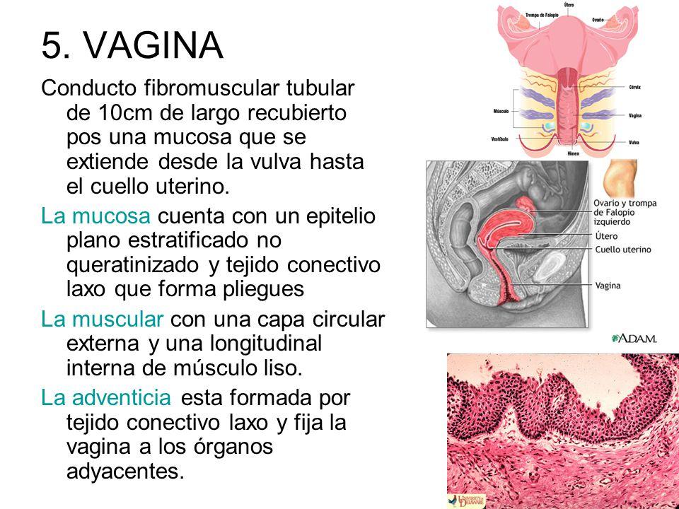 5. VAGINA Conducto fibromuscular tubular de 10cm de largo recubierto pos una mucosa que se extiende desde la vulva hasta el cuello uterino.