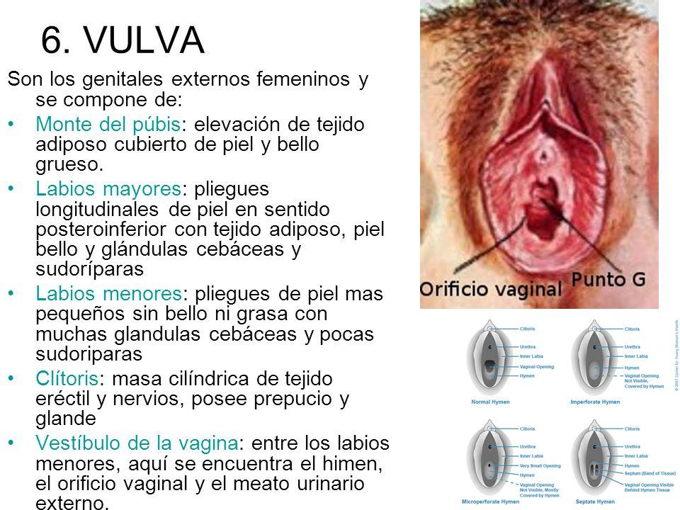6. VULVA Son los genitales externos femeninos y se compone de: