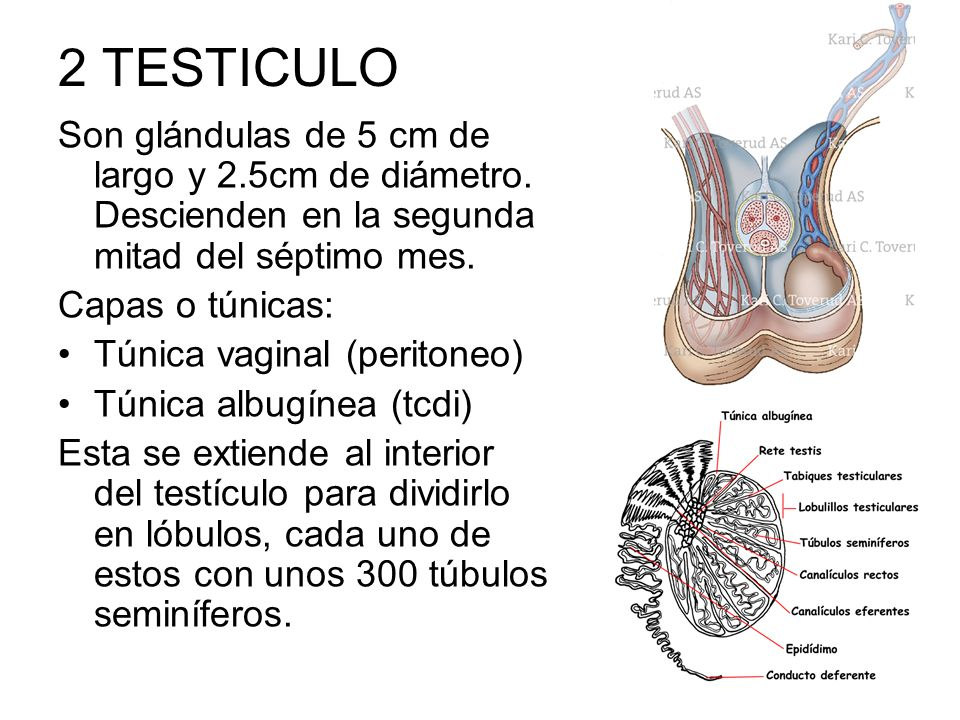 2 TESTICULO Son glándulas de 5 cm de largo y 2.5cm de diámetro. Descienden en la segunda mitad del séptimo mes.