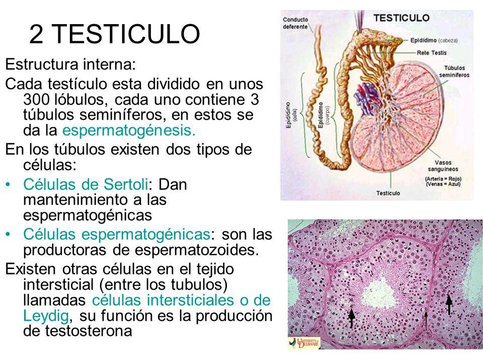 2 TESTICULO Estructura interna: