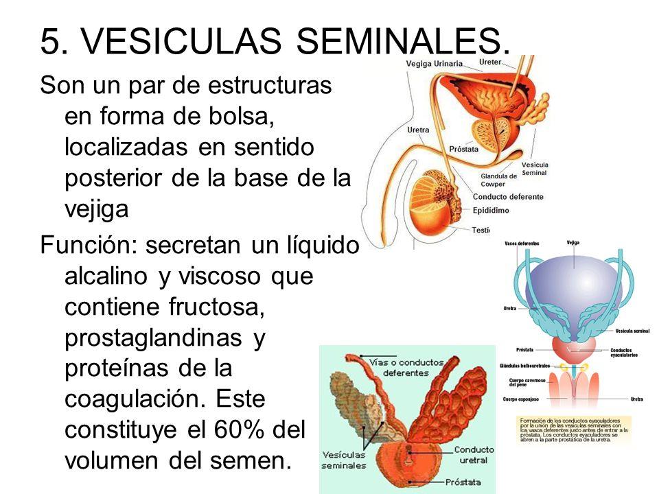 5. VESICULAS SEMINALES. Son un par de estructuras en forma de bolsa, localizadas en sentido posterior de la base de la vejiga.