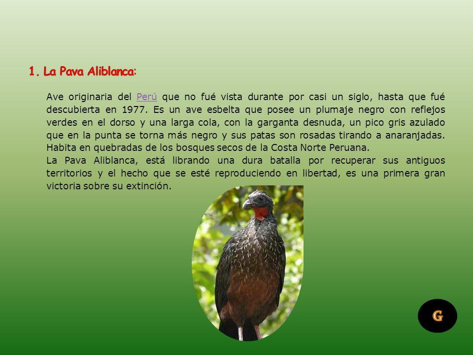 1. La Pava Aliblanca: