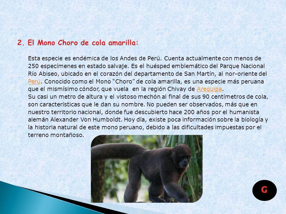 2. El Mono Choro de cola amarilla: