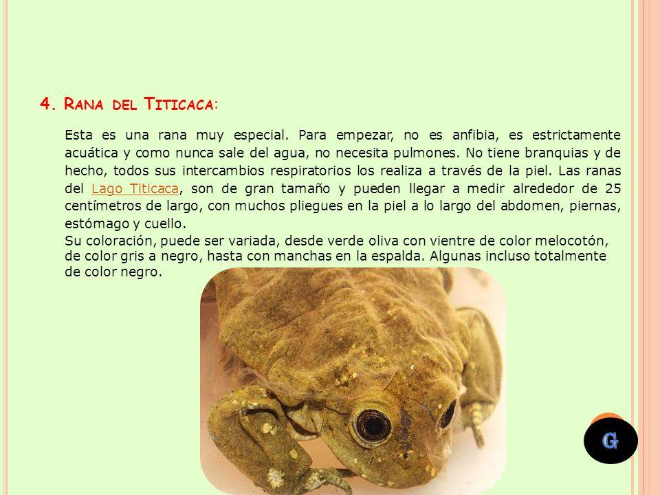 4. Rana del Titicaca: