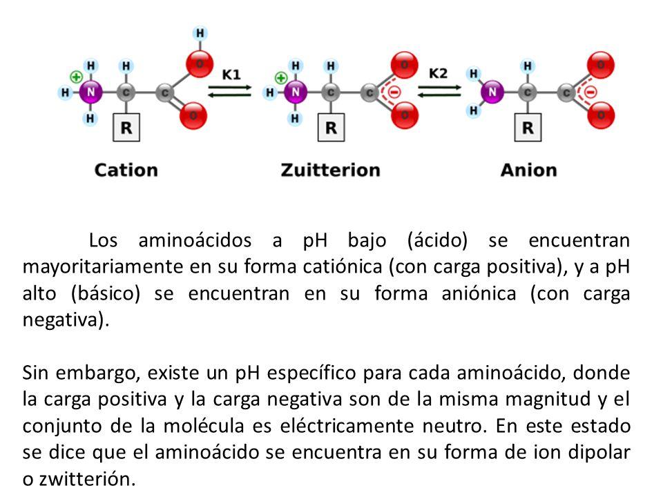 Los aminoácidos a pH bajo (ácido) se encuentran mayoritariamente en su forma catiónica (con carga positiva), y a pH alto (básico) se encuentran en su forma aniónica (con carga negativa).