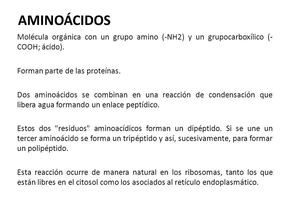 AMINOÁCIDOS Molécula orgánica con un grupo amino (-NH2) y un grupocarboxílico (-COOH; ácido). Forman parte de las proteínas.