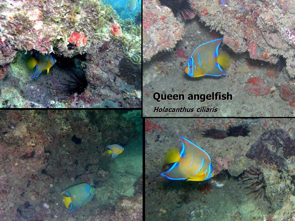Queen angelfish Holacanthus ciliaris