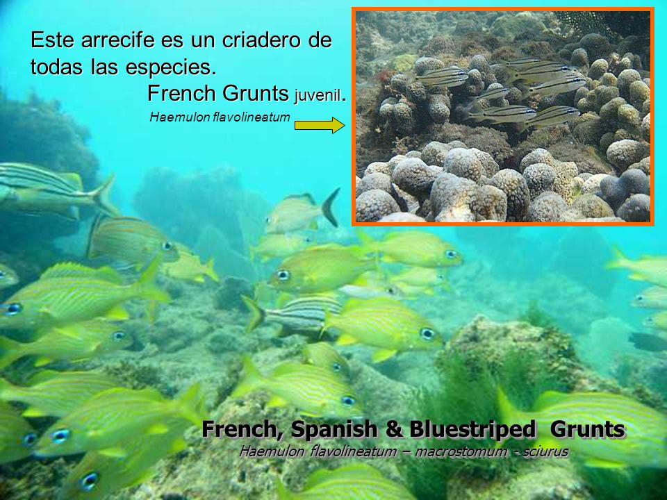 Este arrecife es un criadero de todas las especies.