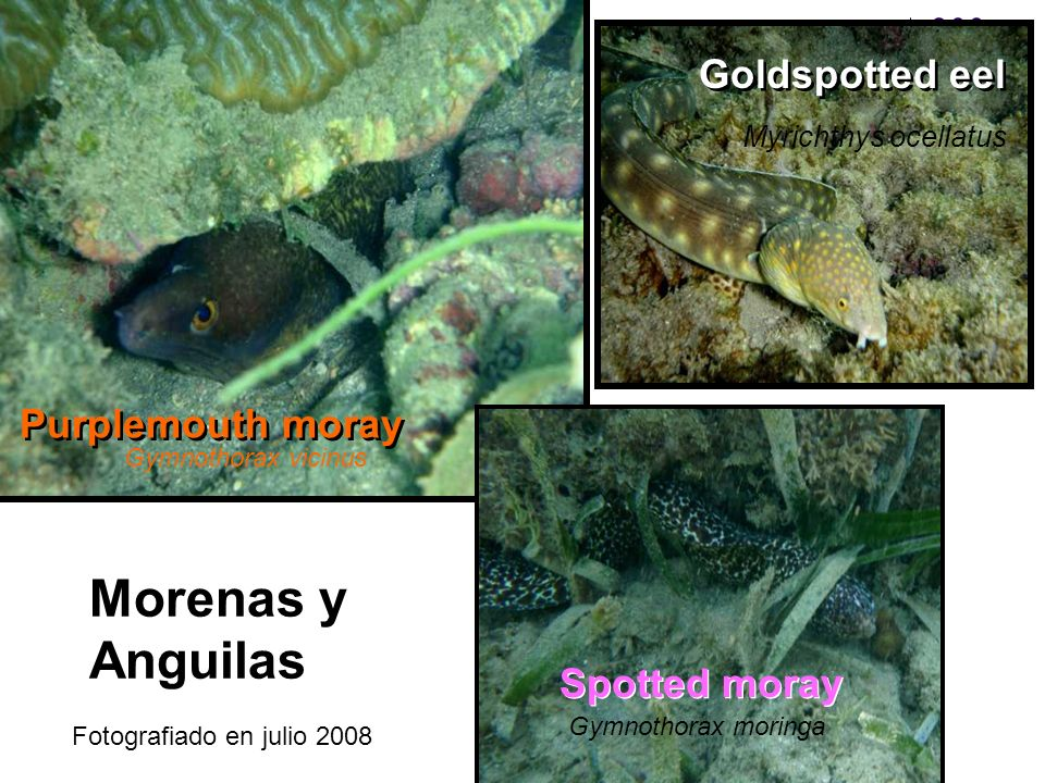 Morenas y Anguilas Goldspotted eel Purplemouth moray Spotted moray