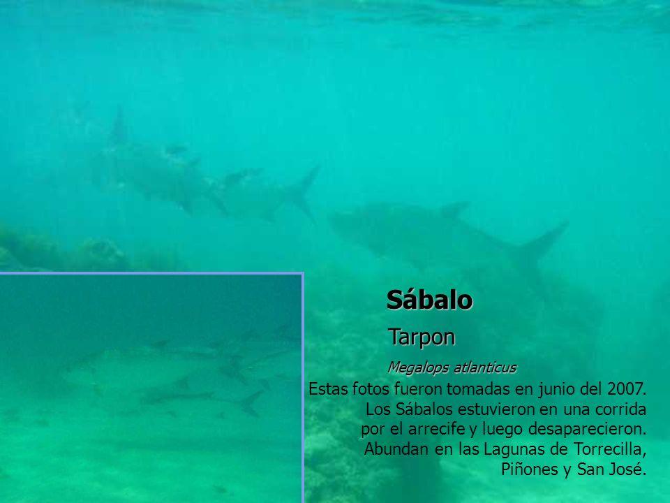 Sábalo Tarpon Estas fotos fueron tomadas en junio del 2007.