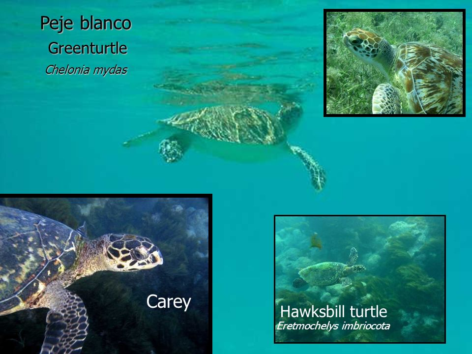 Peje blanco Carey Greenturtle Hawksbill turtle Chelonia mydas