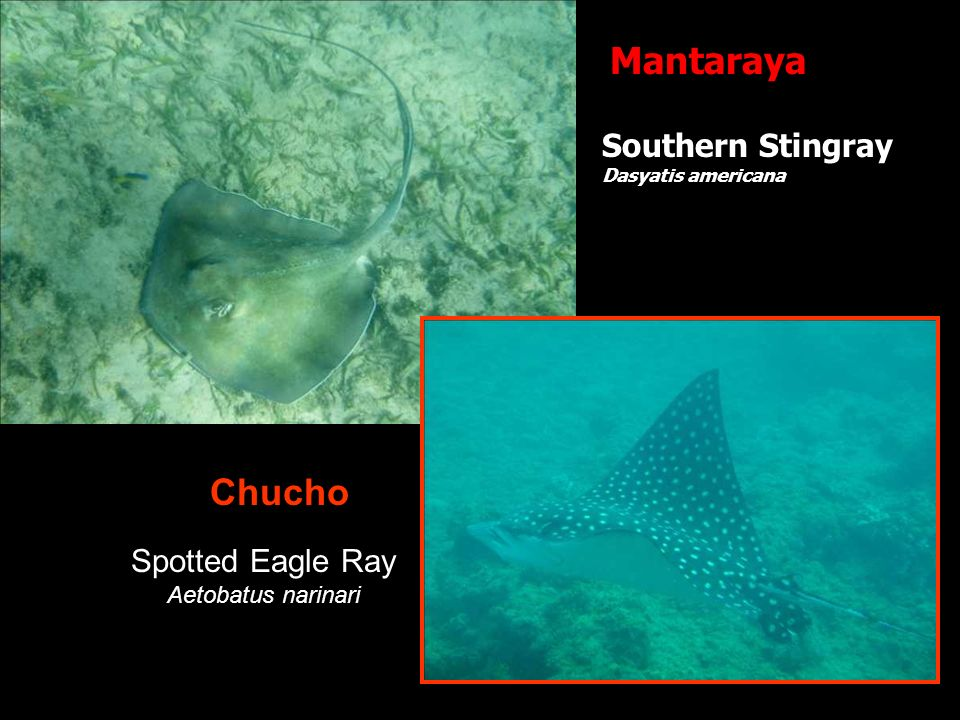 Mantaraya Chucho Southern Stingray Spotted Eagle Ray