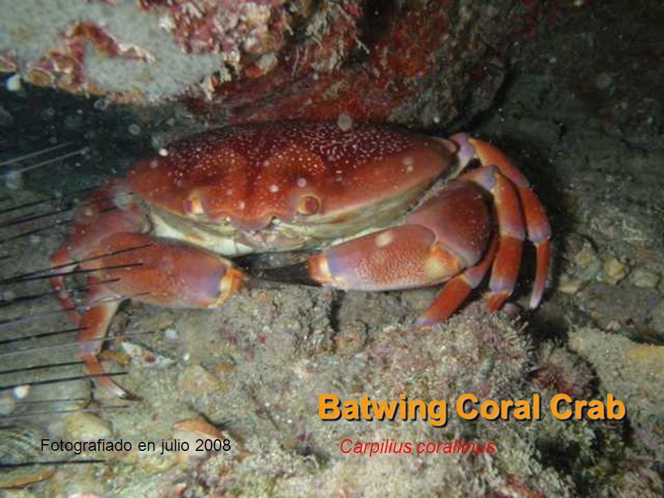 Batwing Coral Crab Fotografiado en julio 2008 Carpilius corallinus