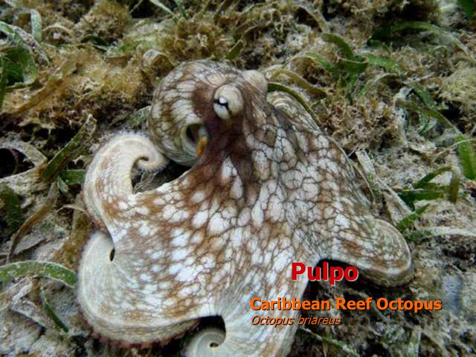 Pulpo Caribbean Reef Octopus Octopus briareus