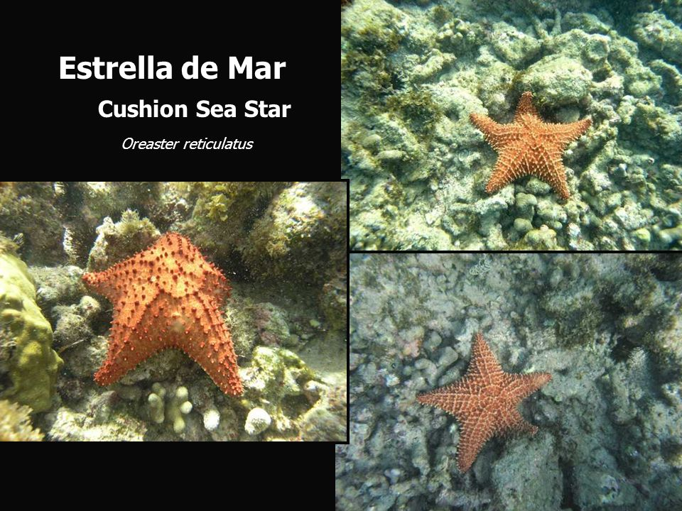 Estrella de Mar Cushion Sea Star Oreaster reticulatus