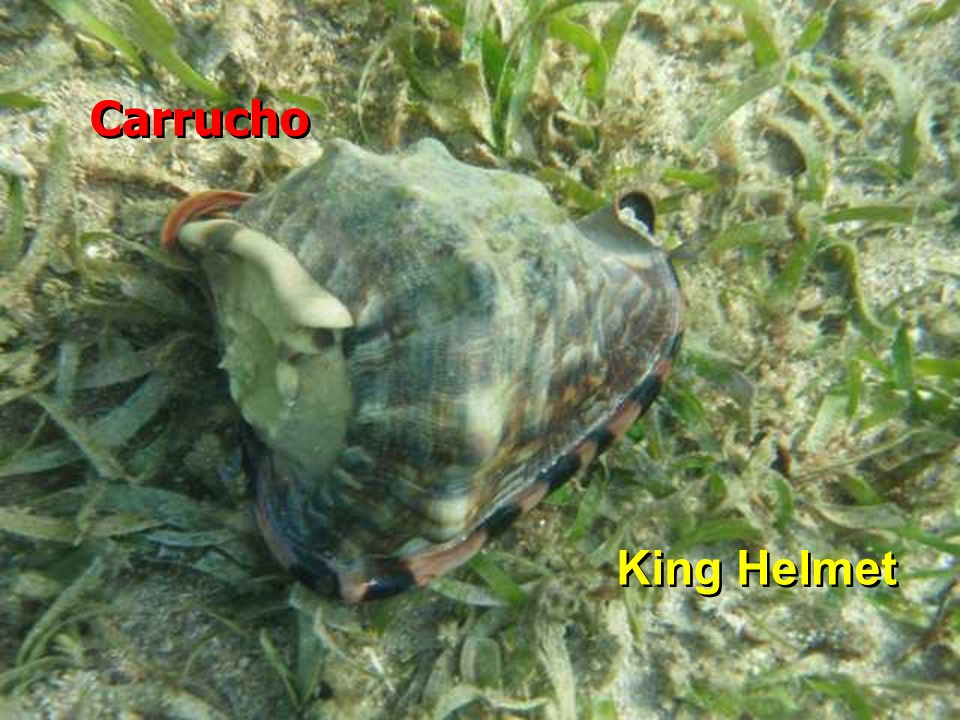 Carrucho King Helmet