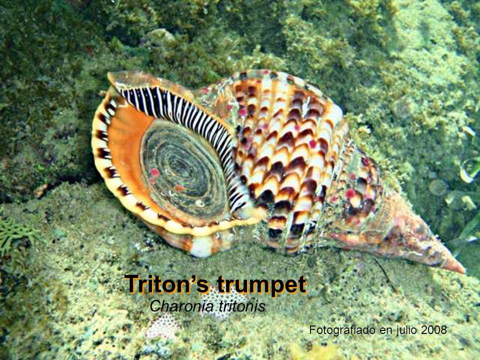 Triton's trumpet Charonia tritonis Fotografiado en julio 2008