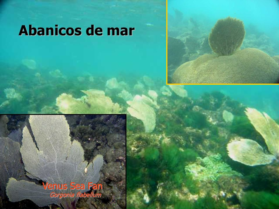 Abanicos de mar Venus Sea Fan Gorgonia flabellum