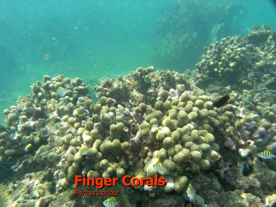 Finger Corals Porites porites