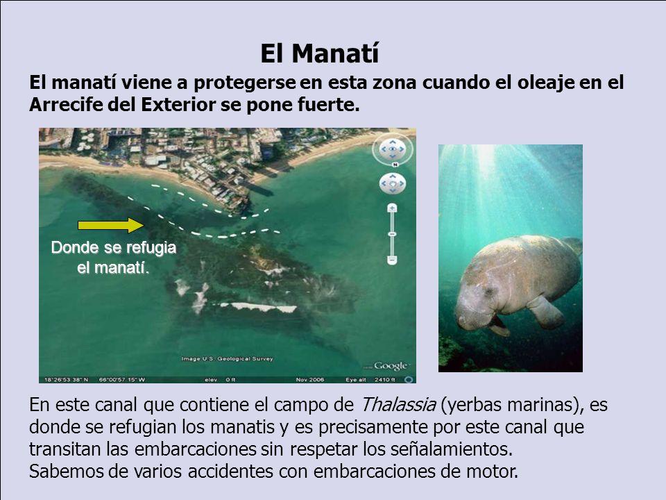 El Manatí El manatí viene a protegerse en esta zona cuando el oleaje en el Arrecife del Exterior se pone fuerte.
