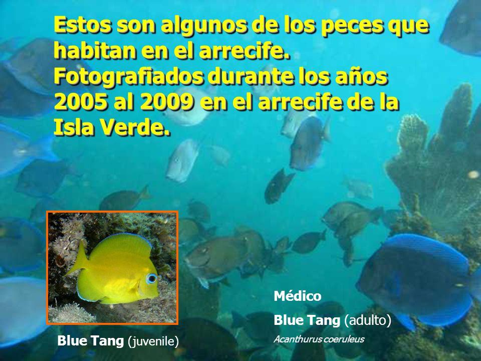 Estos son algunos de los peces que habitan en el arrecife