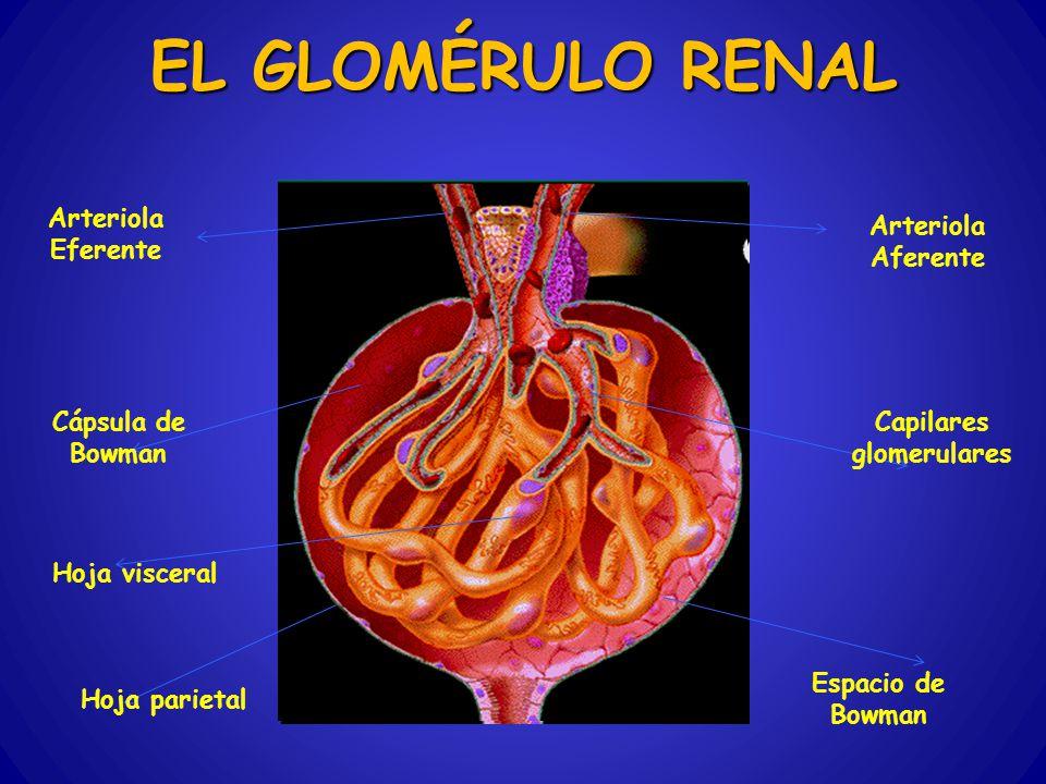 Capilares glomerulares