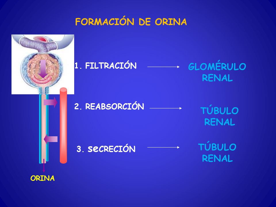 FORMACIÓN DE ORINA GLOMÉRULO RENAL TÚBULO RENAL TÚBULO RENAL