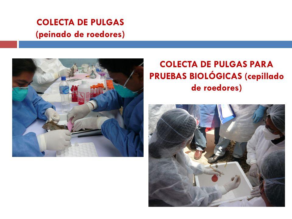 COLECTA DE PULGAS (peinado de roedores)