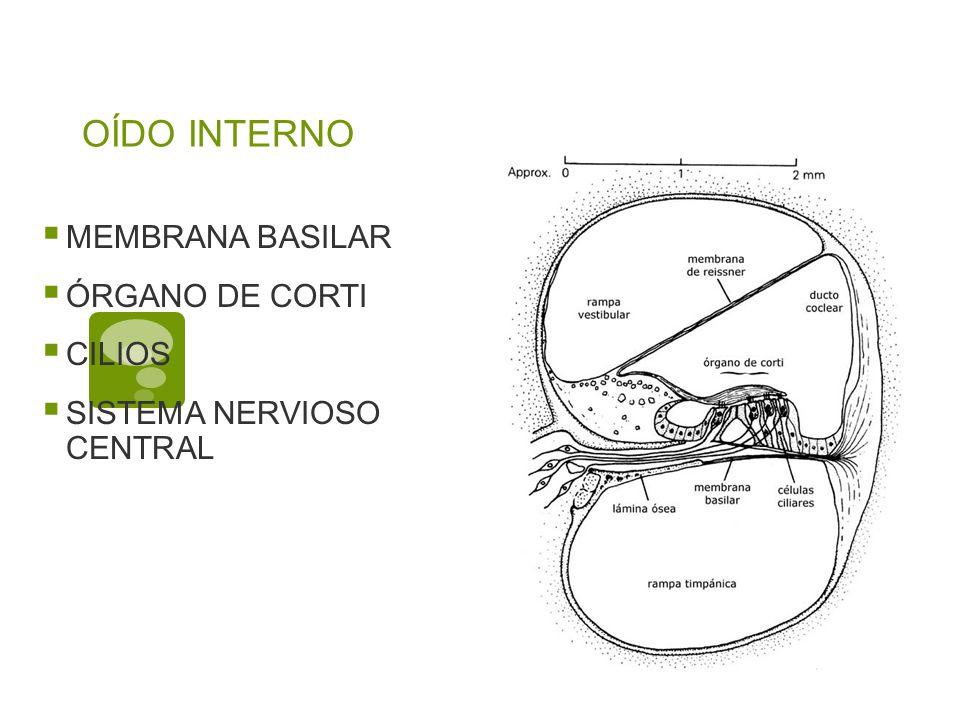 OÍDO INTERNO MEMBRANA BASILAR ÓRGANO DE CORTI CILIOS