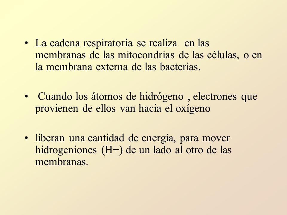 La cadena respiratoria se realiza en las membranas de las mitocondrias de las células, o en la membrana externa de las bacterias.
