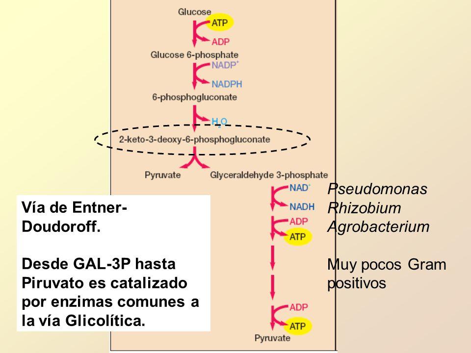 Pseudomonas Rhizobium. Agrobacterium. Muy pocos Gram. positivos. Vía de Entner-Doudoroff.
