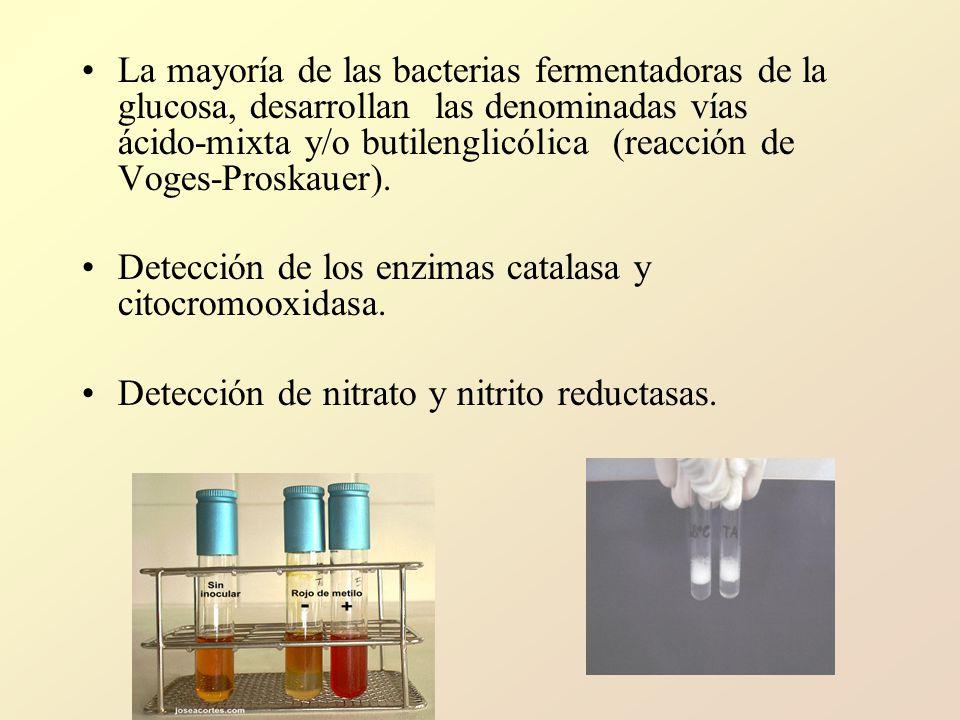 La mayoría de las bacterias fermentadoras de la glucosa, desarrollan las denominadas vías ácido‑mixta y/o butilenglicólica (reacción de Voges‑Proskauer).