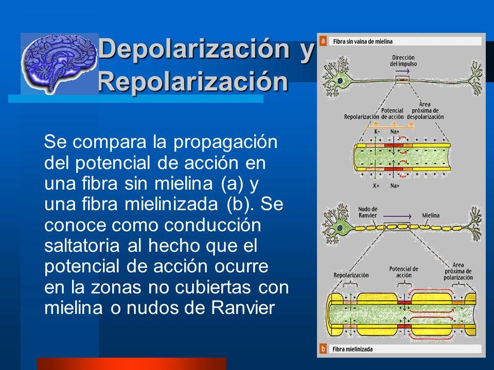 Depolarización y Repolarización