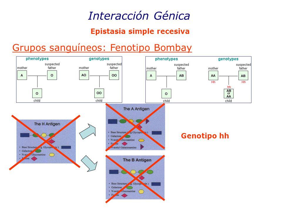 Interacción Génica Grupos sanguíneos: Fenotipo Bombay