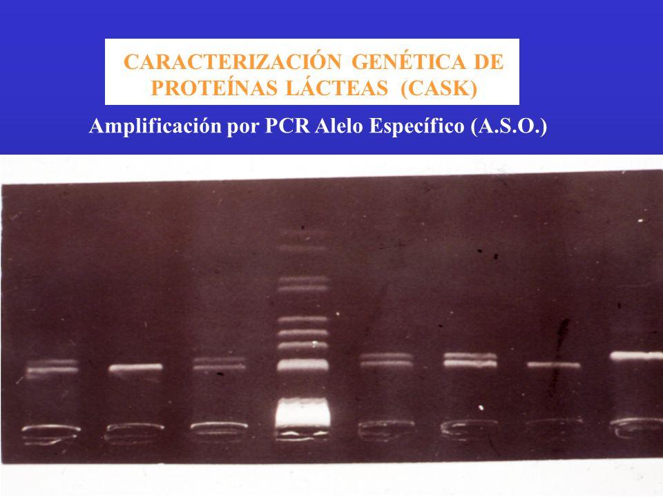 CARACTERIZACIÓN GENÉTICA DE PROTEÍNAS LÁCTEAS (CASK)