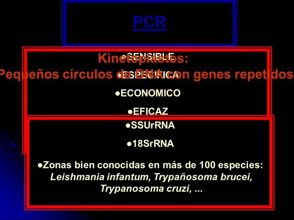 PCR Kinetoplastos: Pequeños círculos de DNA con genes repetidos