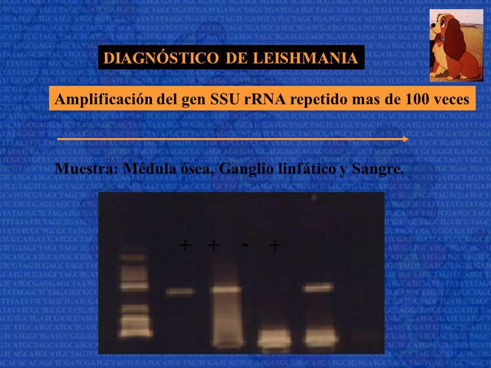 - + DIAGNÓSTICO DE LEISHMANIA
