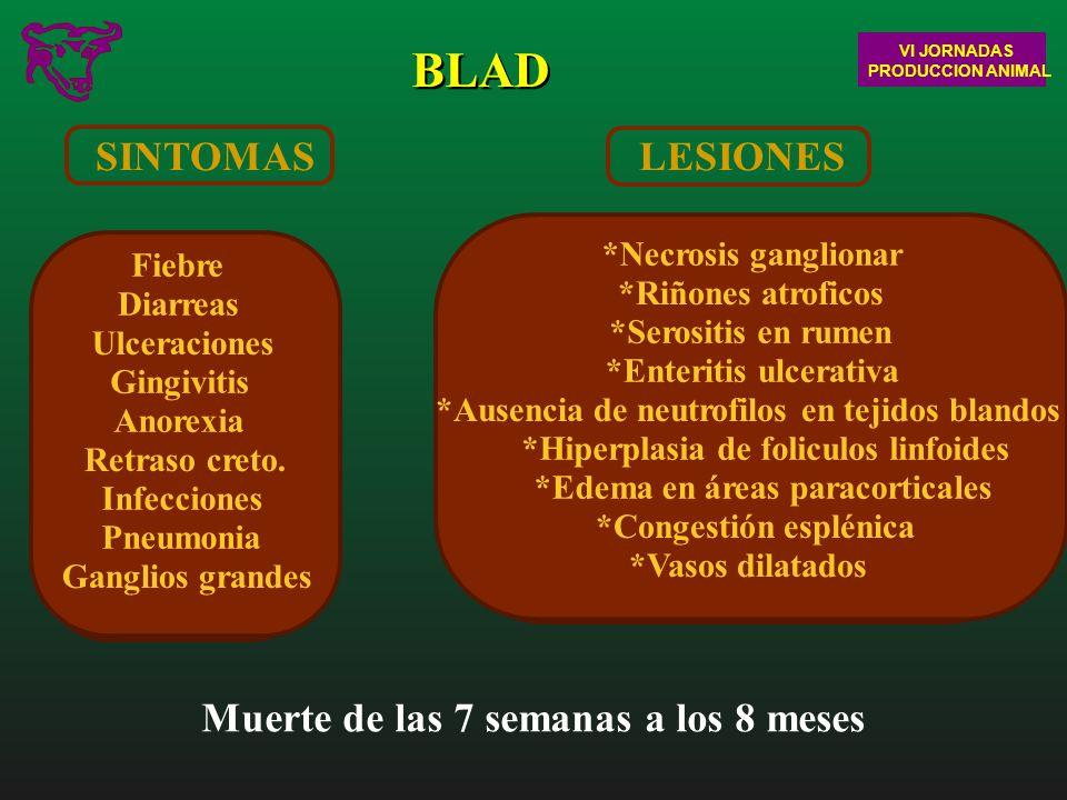 BLAD SINTOMAS Muerte de las 7 semanas a los 8 meses LESIONES
