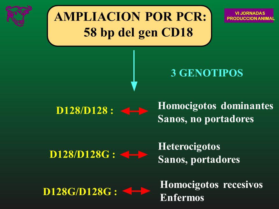 AMPLIACION POR PCR: 58 bp del gen CD18 3 GENOTIPOS