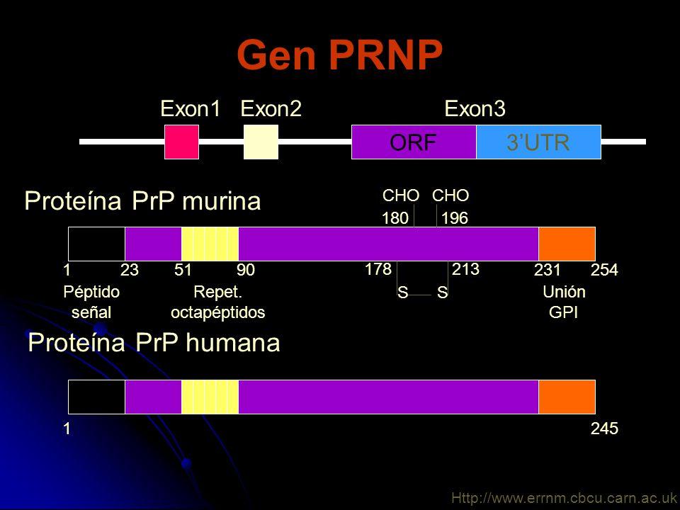 Gen PRNP Proteína PrP murina Proteína PrP humana Exon1 Exon2 Exon3 ORF