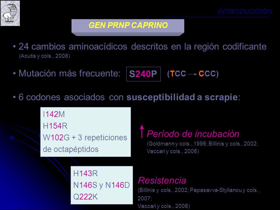 24 cambios aminoacídicos descritos en la región codificante