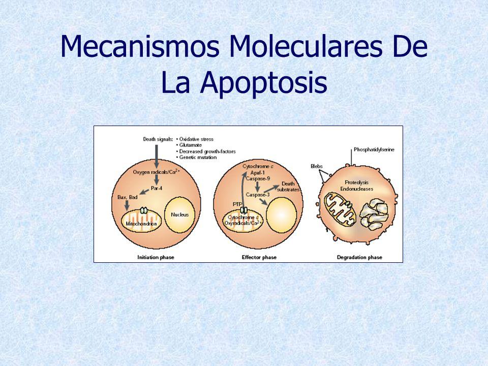 Mecanismos Moleculares De La Apoptosis