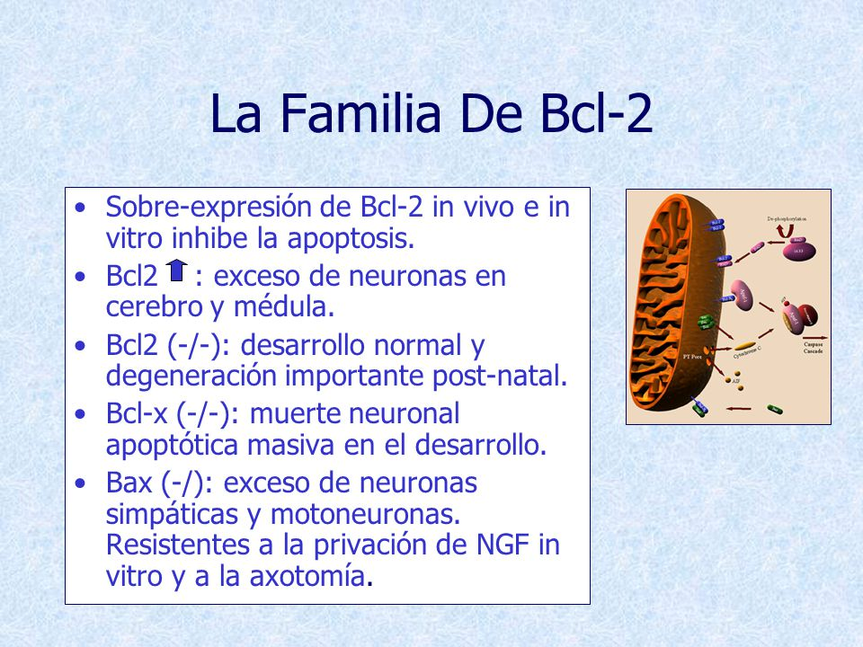 La Familia De Bcl-2 Sobre-expresión de Bcl-2 in vivo e in vitro inhibe la apoptosis. Bcl2 : exceso de neuronas en cerebro y médula.