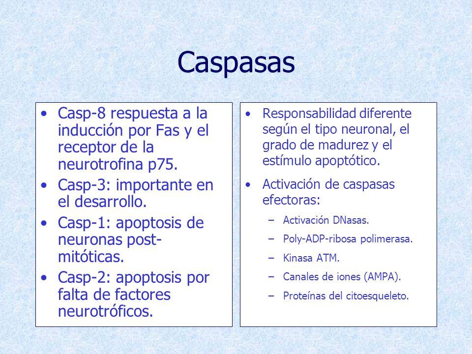 Caspasas Casp-8 respuesta a la inducción por Fas y el receptor de la neurotrofina p75. Casp-3: importante en el desarrollo.